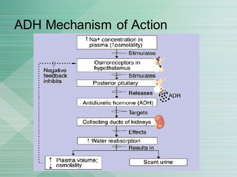 ADH Mechanism of Action