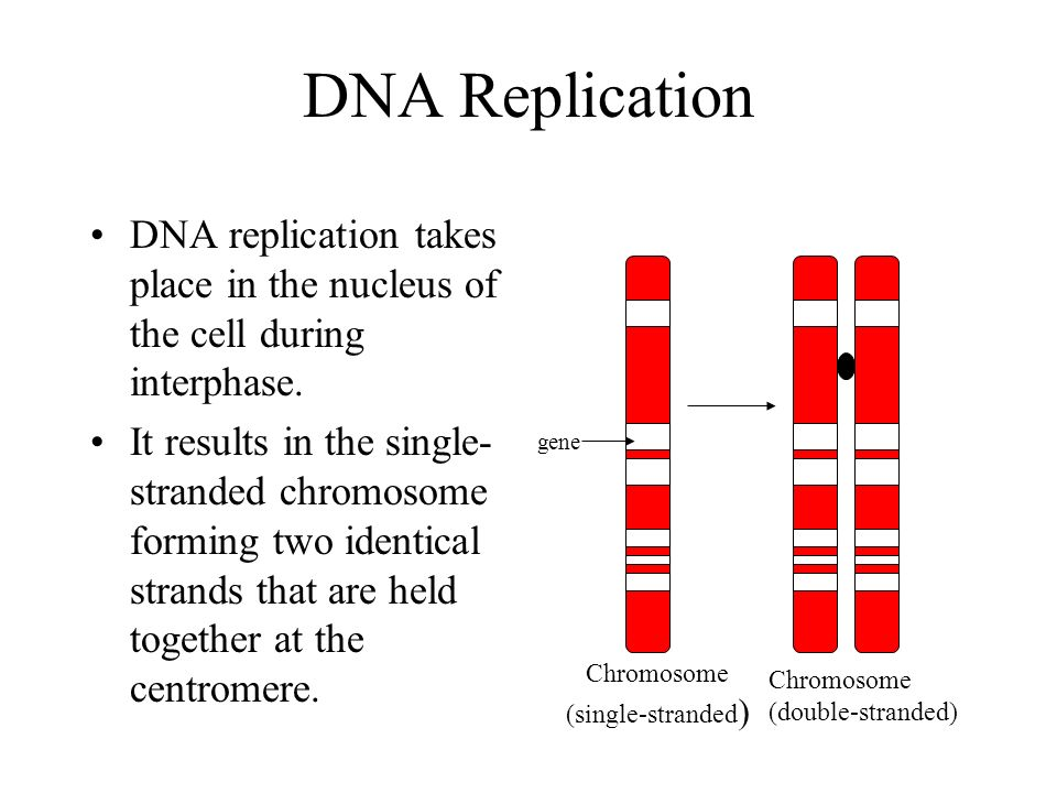 DNA Replication DNA replication takes place in the nucleus of the cell during interphase.