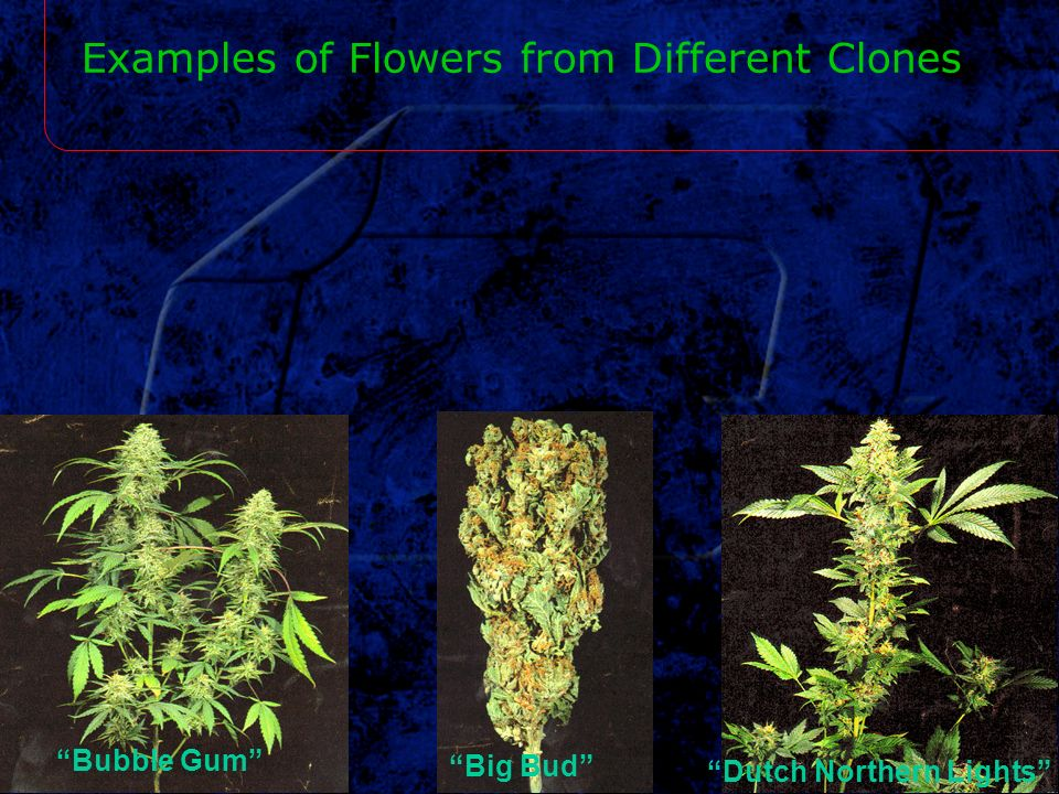 Examples of Flowers from Different Clones