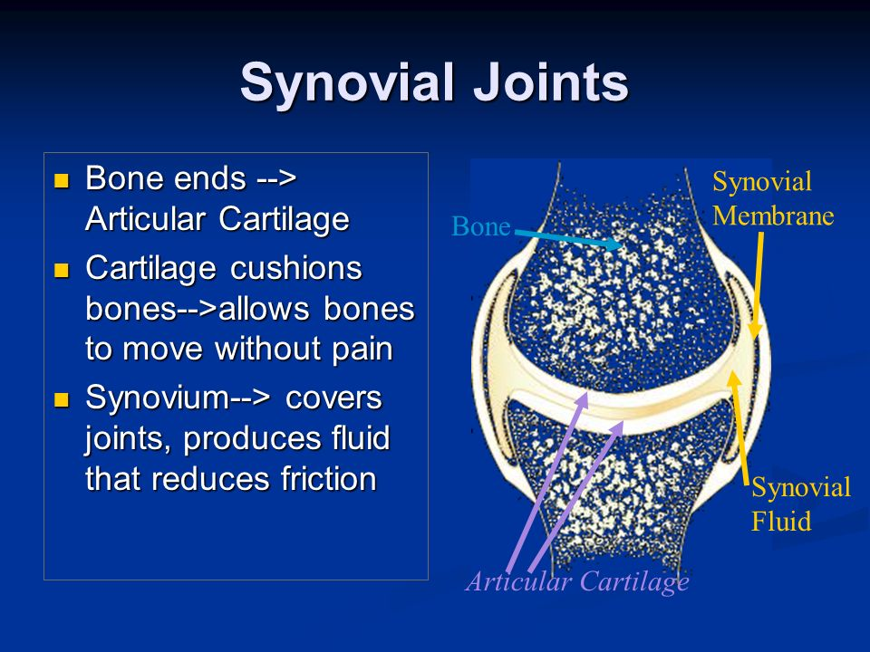 Synovial Joints Bone ends --> Articular Cartilage