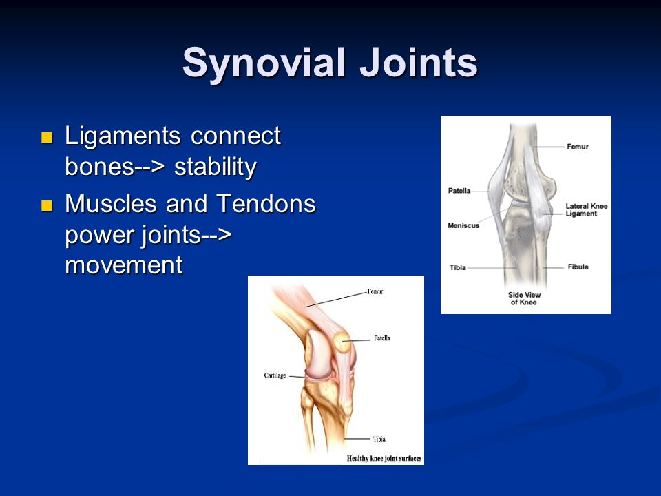 Synovial Joints Ligaments connect bones--> stability