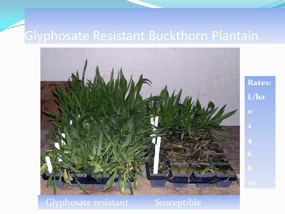 Glyphosate Resistant Buckthorn Plantain