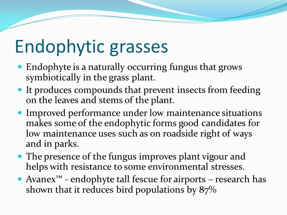 Endophytic grasses Endophyte is a naturally occurring fungus that grows symbiotically in the grass plant.
