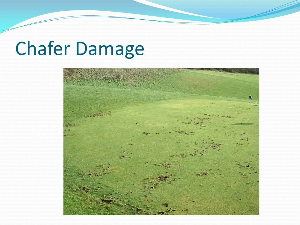 Chafer Damage