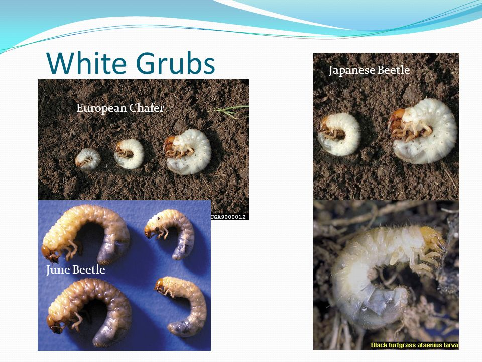 White Grubs Japanese Beetle European Chafer June Beetle