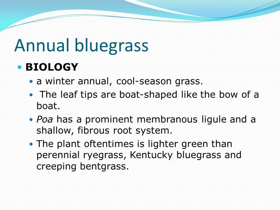 Annual bluegrass BIOLOGY a winter annual, cool-season grass.