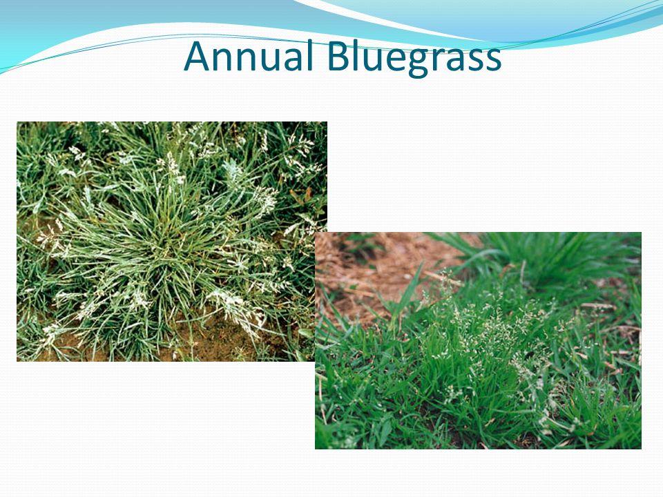 Annual Bluegrass