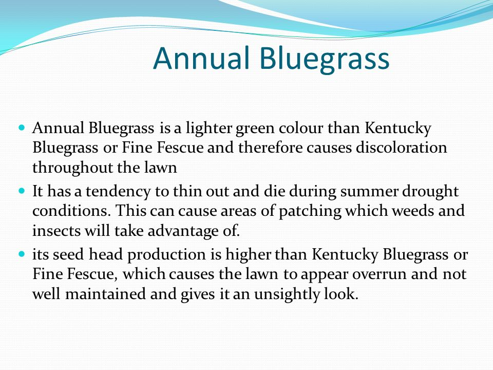 Annual Bluegrass