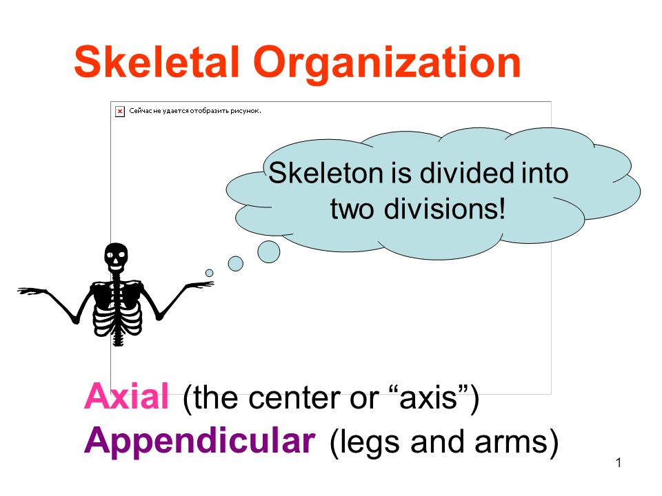 Skeleton is divided into
