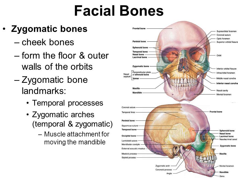 Facial Bones Zygomatic bones cheek bones