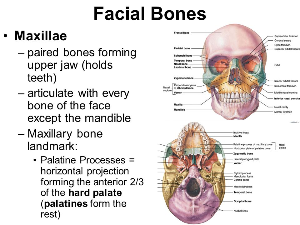 Facial Bones Maxillae paired bones forming upper jaw (holds teeth)