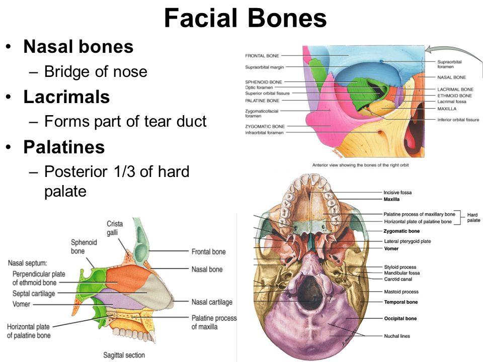 Facial Bones Nasal bones Lacrimals Palatines Bridge of nose