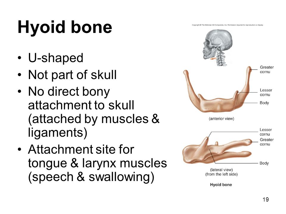 Hyoid bone U-shaped Not part of skull