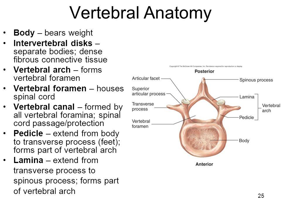 Vertebral Anatomy Body – bears weight