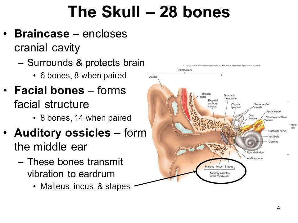The Skull – 28 bones Braincase – encloses cranial cavity