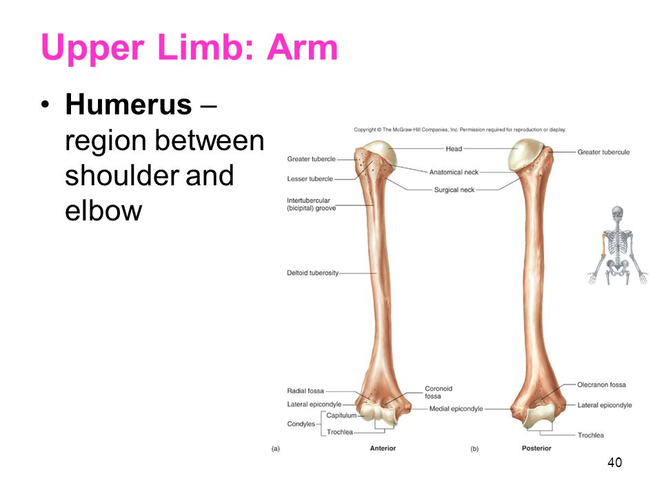 Upper Limb: Arm Humerus – region between shoulder and elbow