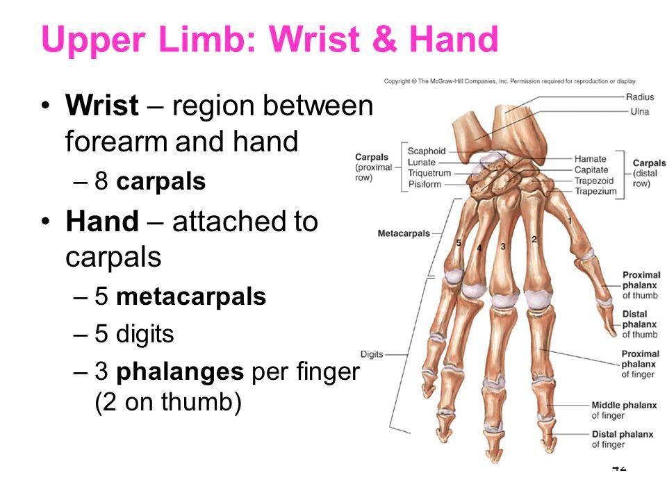 Upper Limb: Wrist & Hand