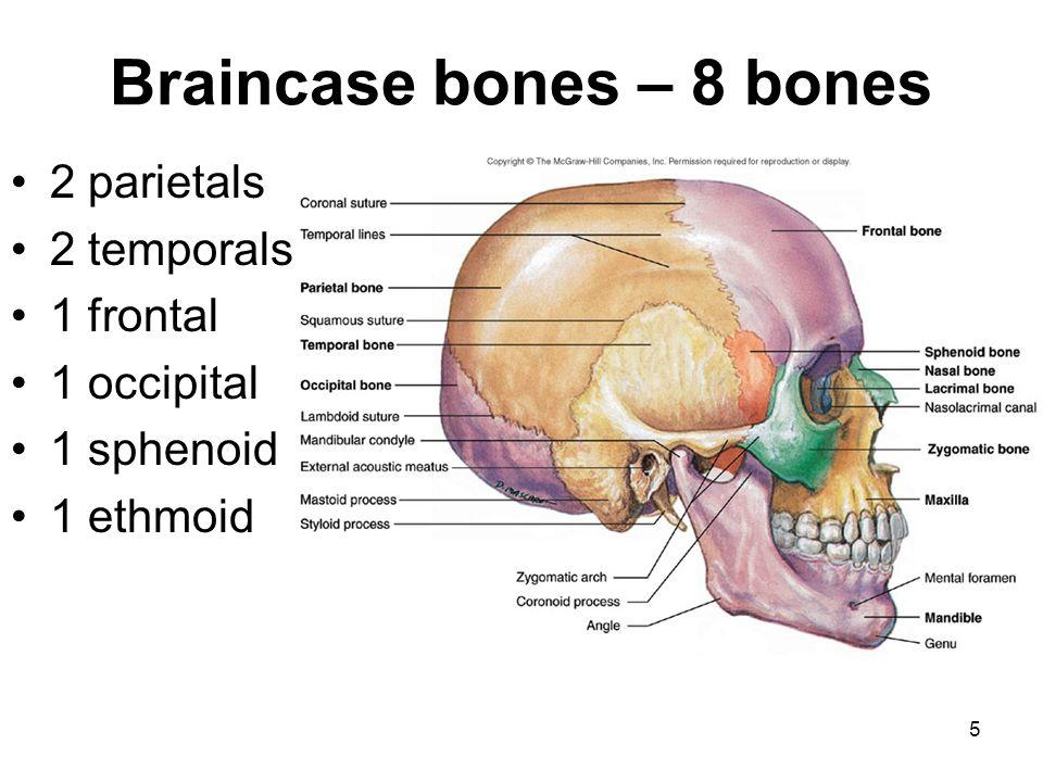 Braincase bones – 8 bones