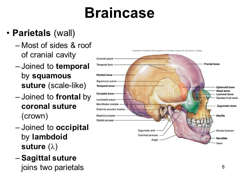 Braincase Parietals (wall) Most of sides & roof of cranial cavity