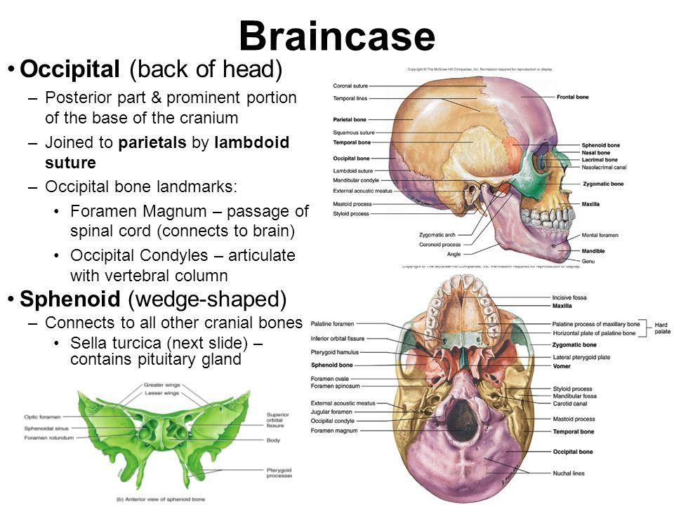 Braincase Occipital (back of head) Sphenoid (wedge-shaped)