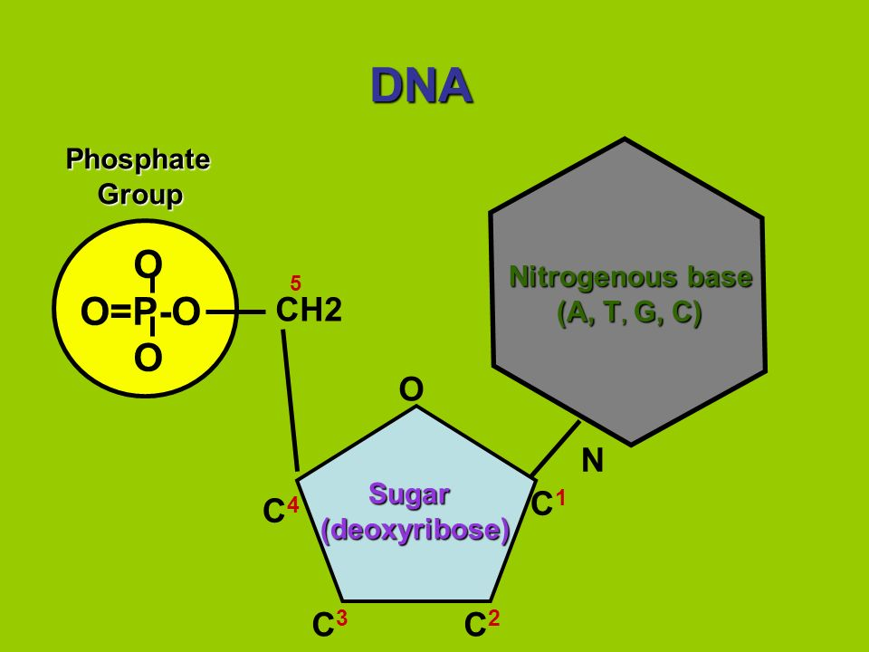 DNA O O=P-O N CH2 O C1 C4 C3 C2 Phosphate Group Nitrogenous base