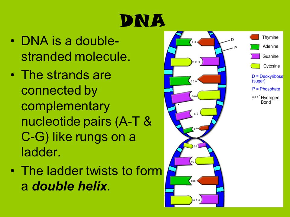 DNA DNA is a double-stranded molecule.