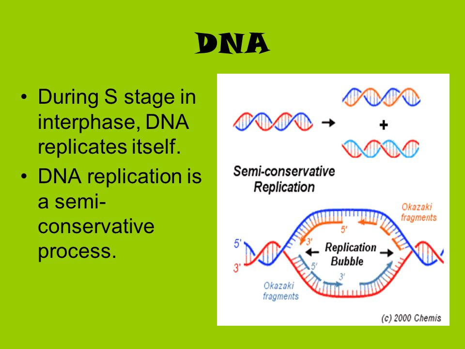 DNA During S stage in interphase, DNA replicates itself.