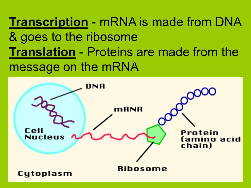Transcription - mRNA is made from DNA & goes to the ribosome