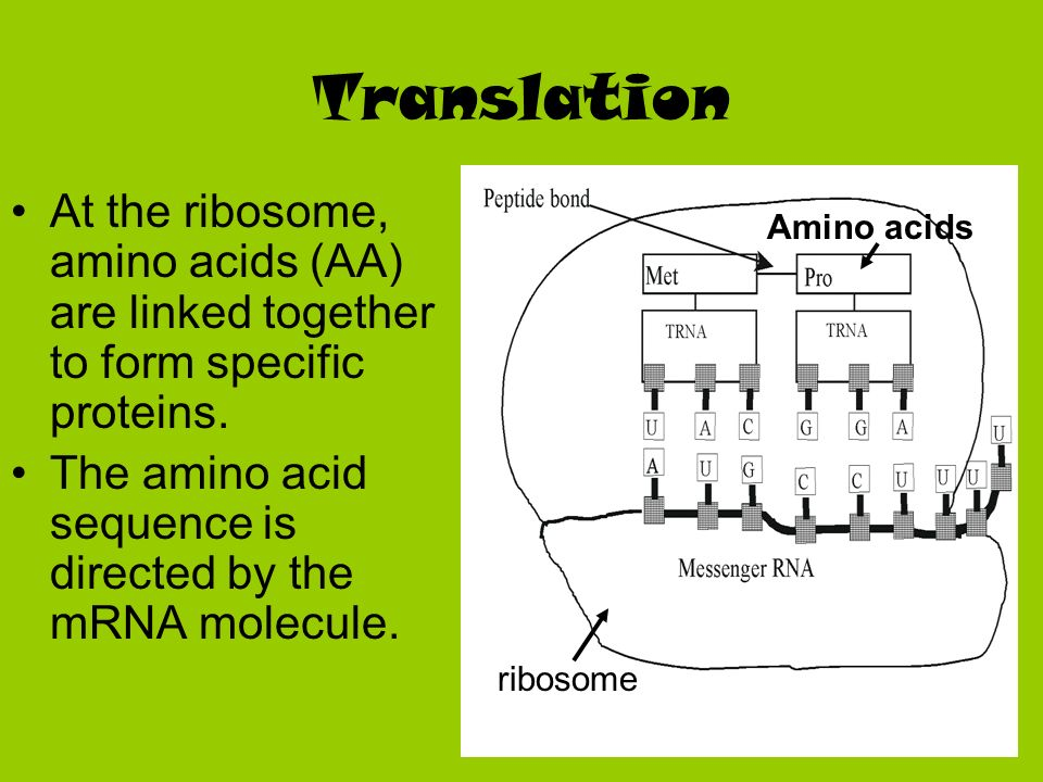 Translation At the ribosome, amino acids (AA) are linked together to form specific proteins.