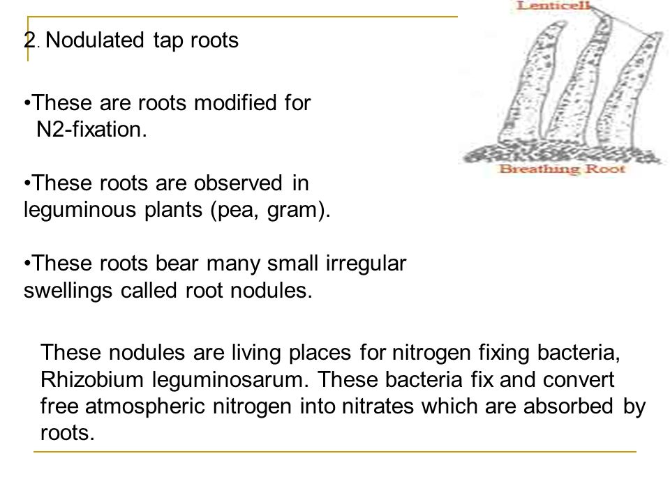 2. Nodulated tap roots These are roots modified for. N2-fixation. These roots are observed in leguminous plants (pea, gram).