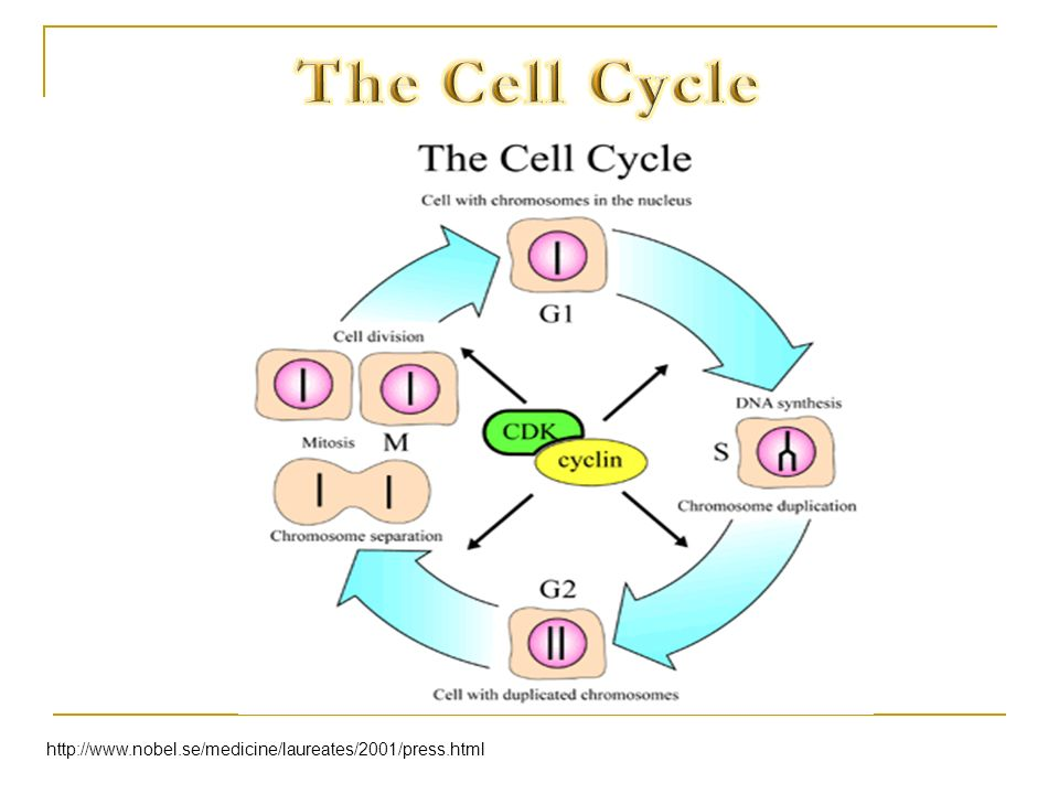 The Cell Cycle http://www.nobel.se/medicine/laureates/2001/press.html