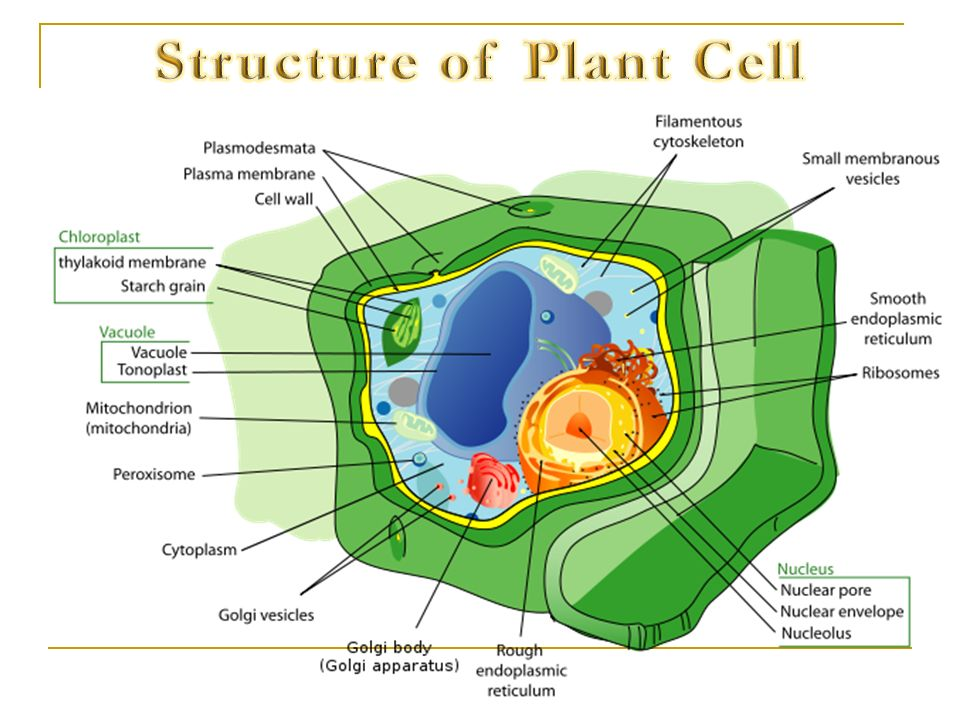 Structure of Plant Cell