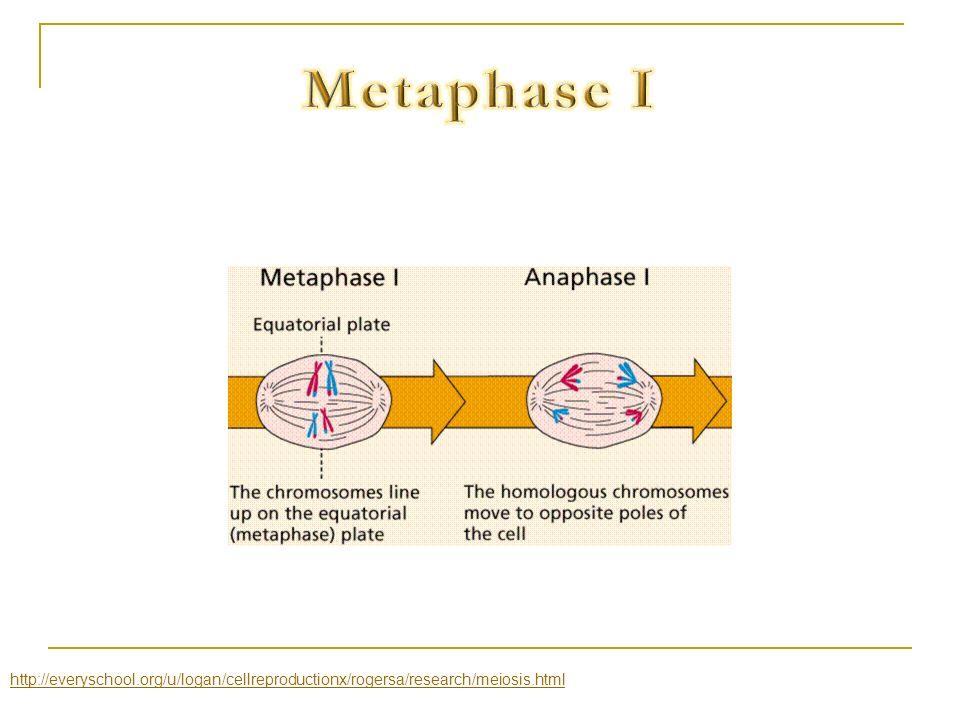 Metaphase I http://everyschool.org/u/logan/cellreproductionx/rogersa/research/meiosis.html