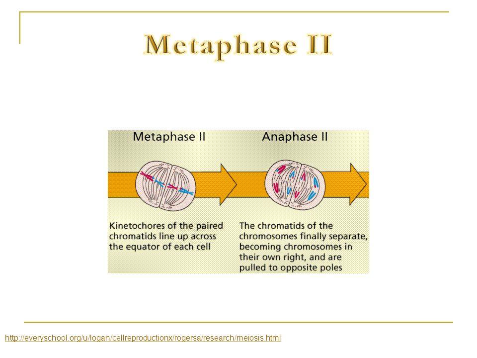 Metaphase II http://everyschool.org/u/logan/cellreproductionx/rogersa/research/meiosis.html