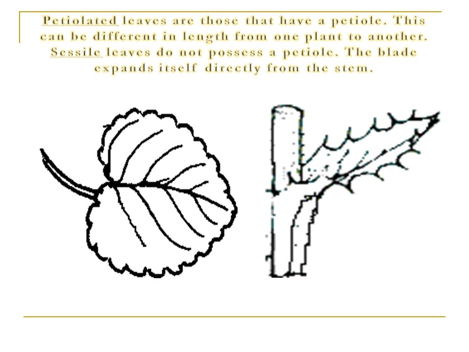 Petiolated leaves are those that have a petiole
