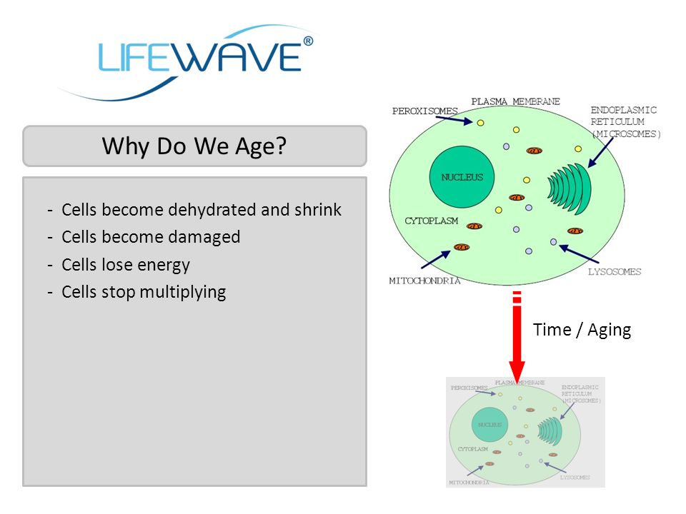 Why Do We Age Cells become dehydrated and shrink Cells become damaged