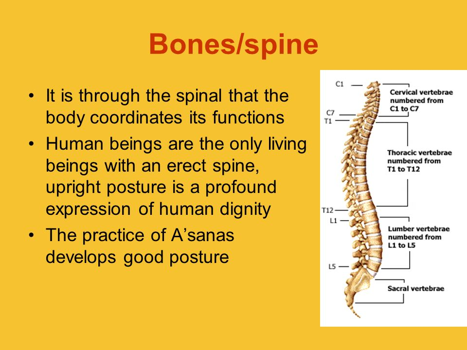 Bones/spineIt is through the spinal that the body coordinates its functions.