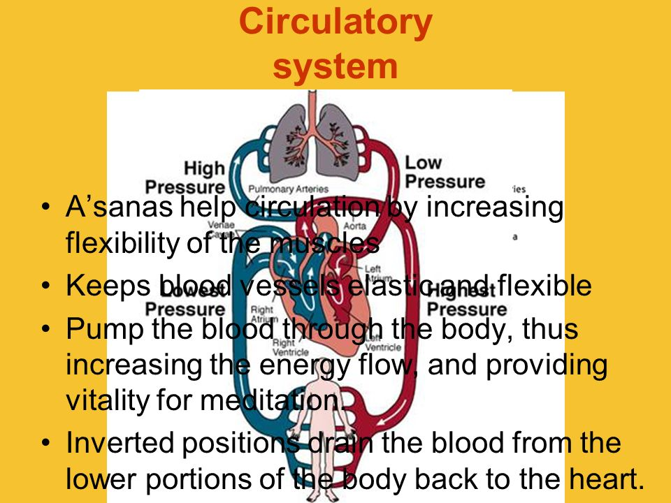 Circulatory systemA'sanas help circulation by increasing flexibility of the muscles. Keeps blood vessels elastic and flexible.