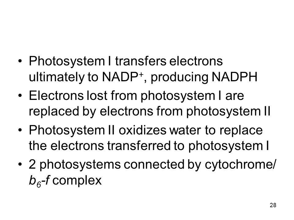 Photosystem I transfers electrons ultimately to NADP+, producing NADPH