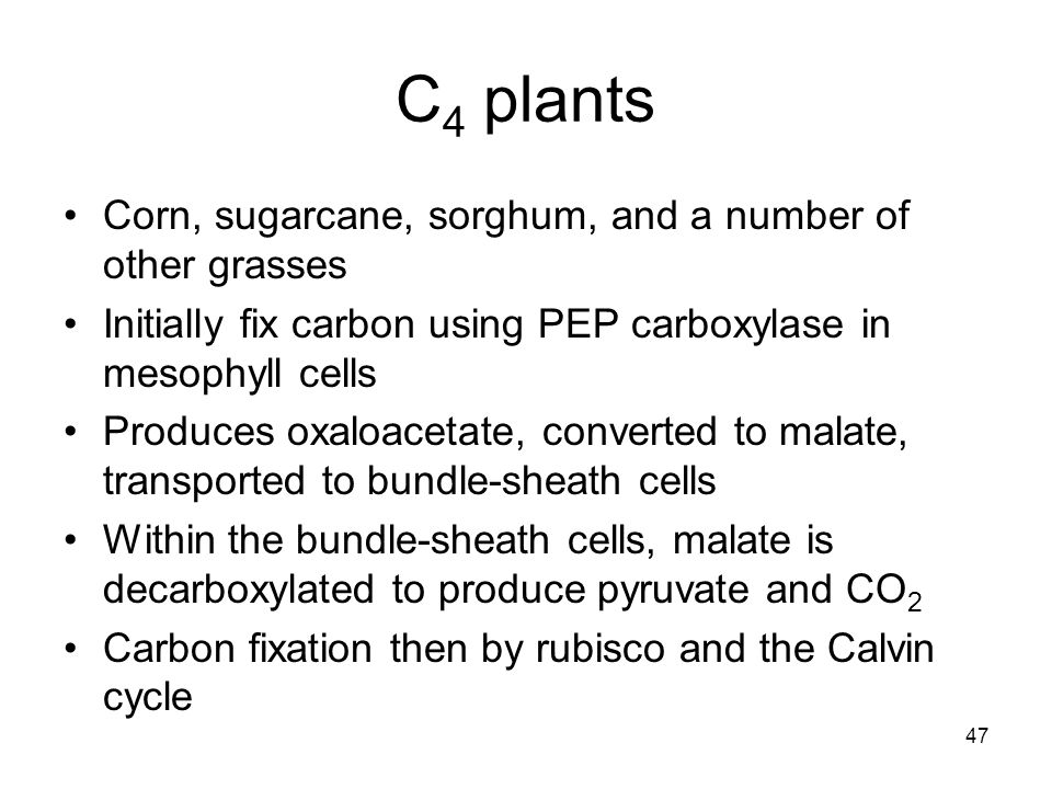 C4 plants Corn, sugarcane, sorghum, and a number of other grasses