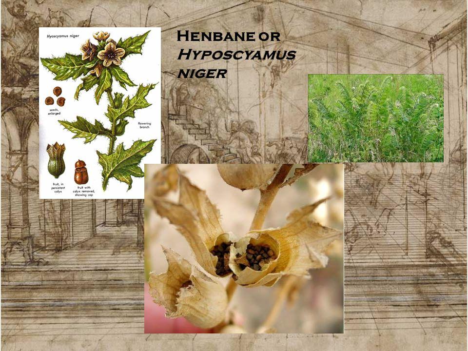 Henbane or Hyposcyamus niger