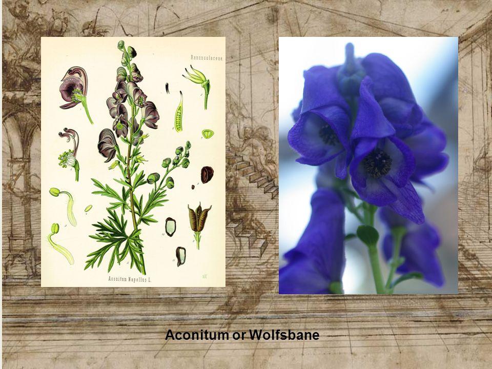 Aconitum or Wolfsbane