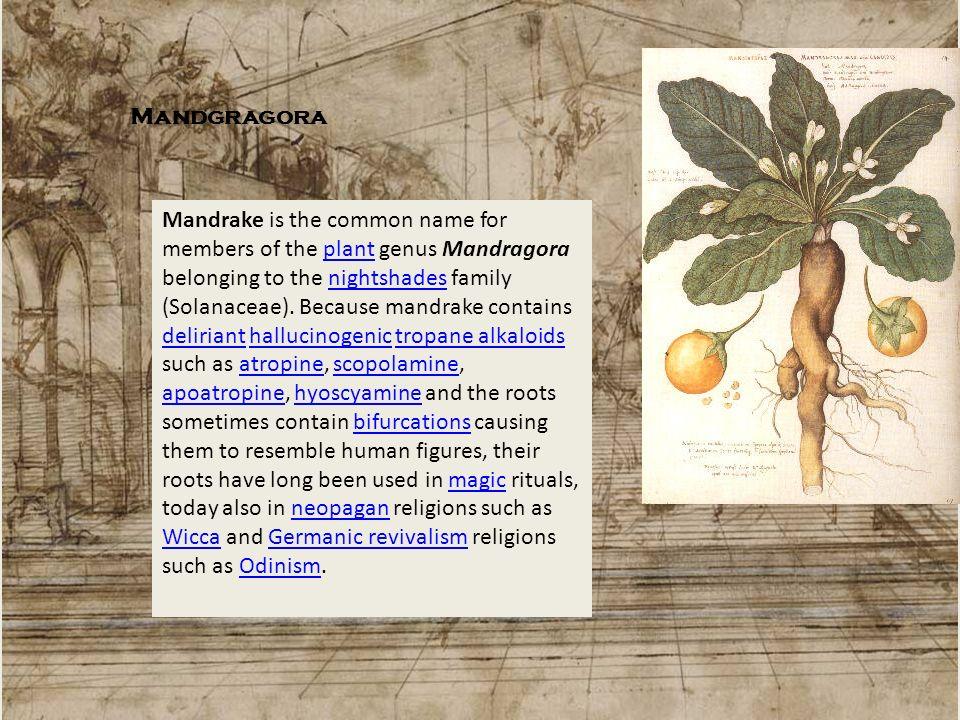 Mandgragora