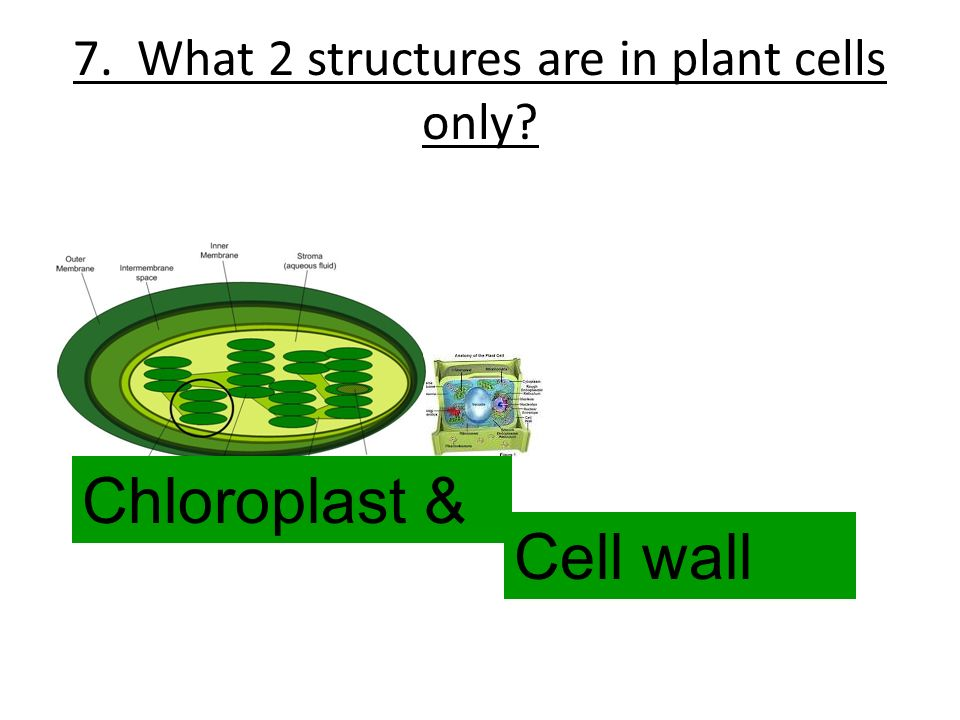7. What 2 structures are in plant cells only