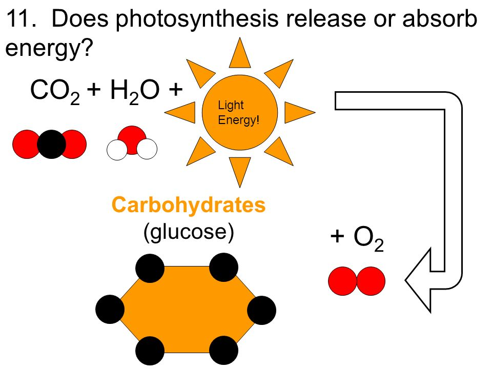 CO2 + H2O + + O2 11. Does photosynthesis release or absorb energy