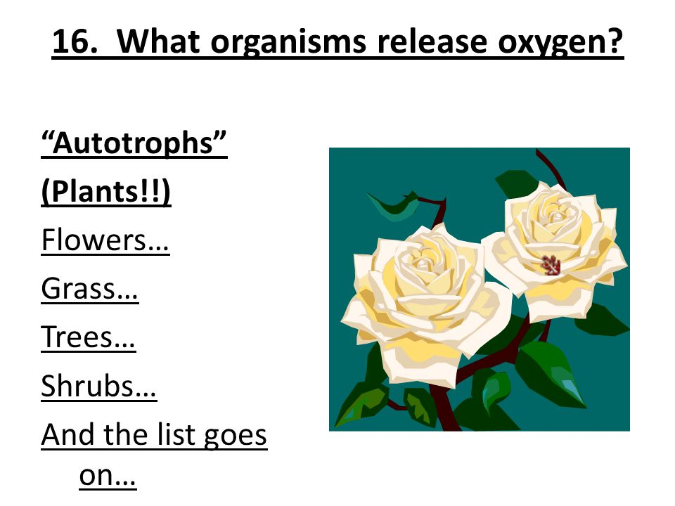 16. What organisms release oxygen