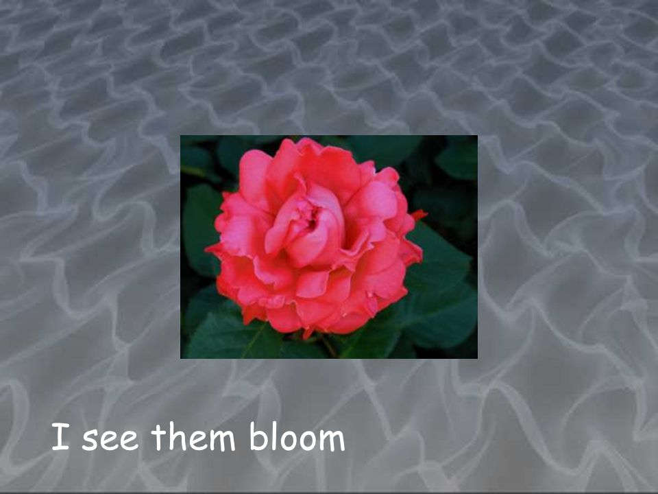 I see them bloom