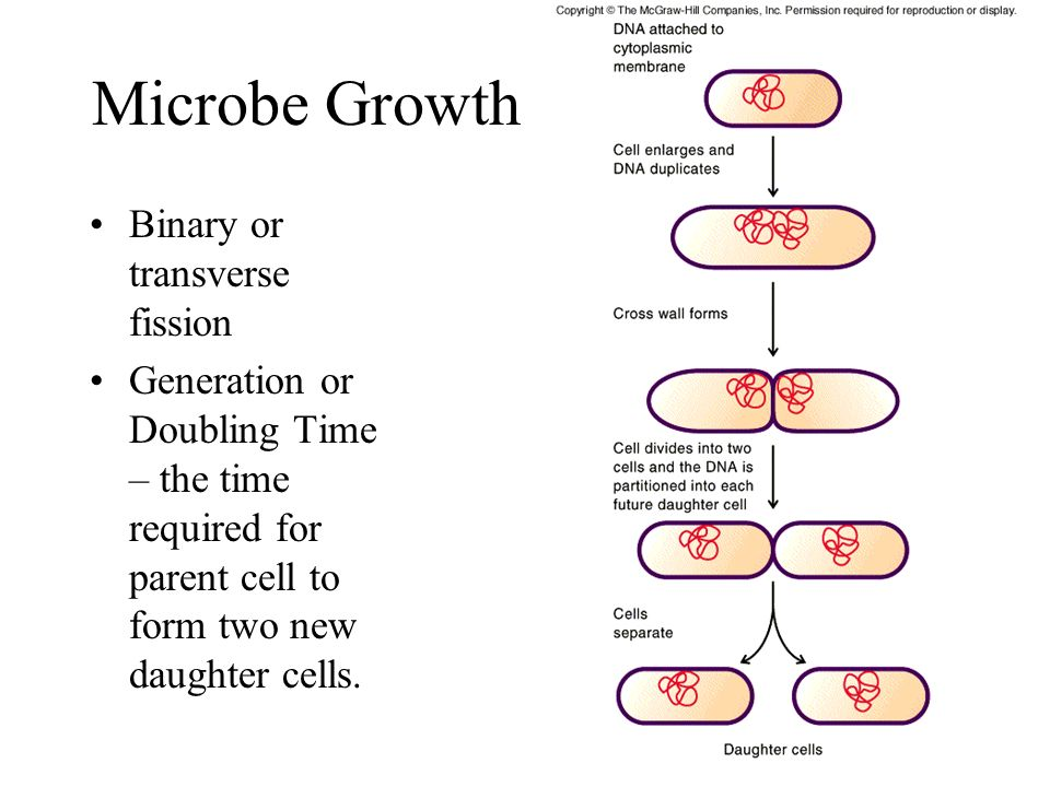 Microbe Growth Binary or transverse fission