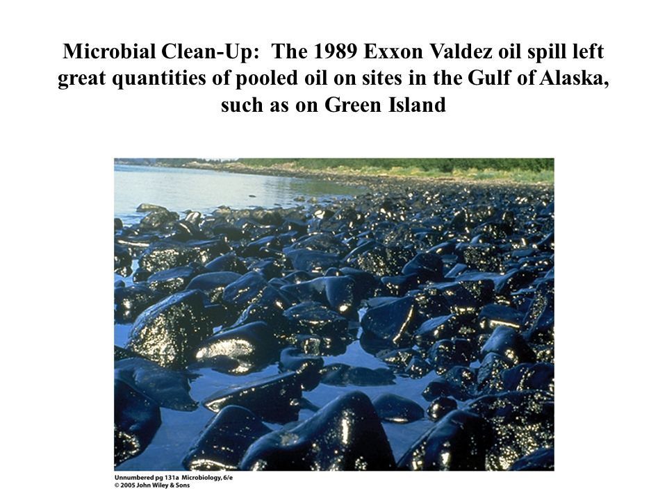 Microbial Clean-Up: The 1989 Exxon Valdez oil spill left great quantities of pooled oil on sites in the Gulf of Alaska, such as on Green Island
