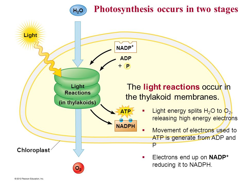 what are two stages of photosynthesis Photosynthesis occurs in two stages in the first stage, light-dependent reactions or light reactions capture the energy of light and use it to make the.
